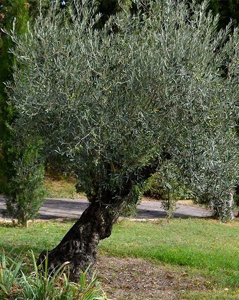 foto-olivo